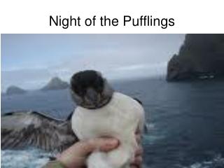 Night of the Pufflings