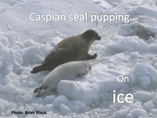Caspian seal  pupping