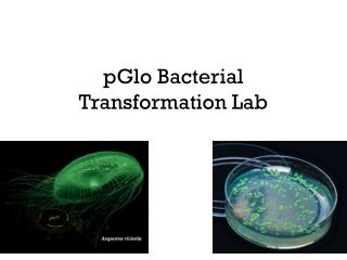 pGlo  Bacterial Transformation Lab