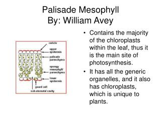Palisade Mesophyll By: William Avey