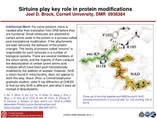 Sirtuins play key role in protein modifications Joel D. Brock, Cornell University, DMR  0936384