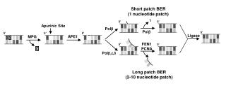 Long patch BER (2-10 nucleotide patch)