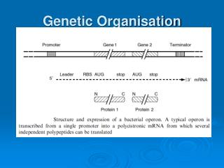 Genetic Organisation