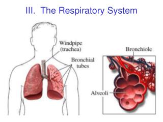 III.  The Respiratory System
