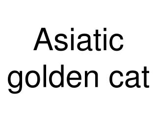 Asiatic golden cat