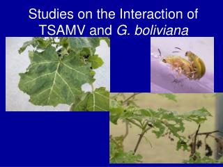 Studies on the Interaction of TSAMV and  G. boliviana