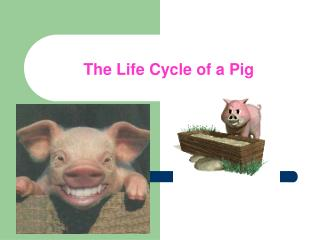 The Life Cycle of a Pig