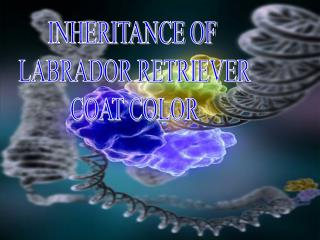 INHERITANCE OF  LABRADOR RETRIEVER  COAT COLOR