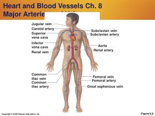 Heart and Blood Vessels Ch. 8 Major Arteries and Veins
