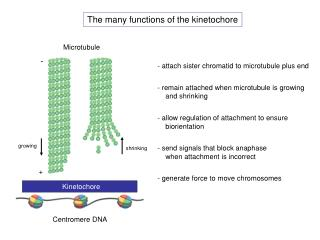 The many functions of the kinetochore