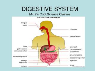 DIGESTIVE SYSTEM Mr. Z's Cool Science Classes