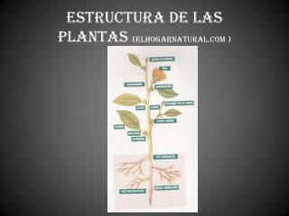 ESTRUCTURA DE LAS  PLANTAS  (elhogarnatural )