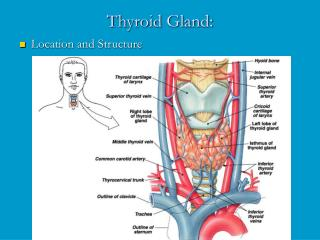 Thyroid Gland: