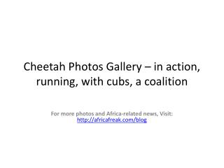 Photos of cheetahs to download for free