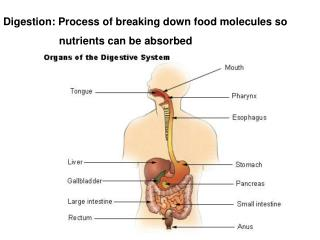 Digestion: Process of breaking down food molecules so