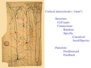 Cortical microcircuit (~1mm 3 ) 	-Structure: 	    Cell types 	    Connections 		Random 		Specific