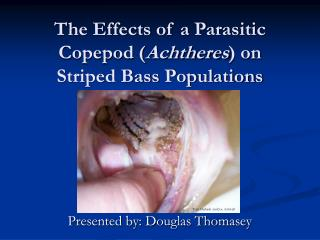 The Effects of a Parasitic Copepod ( Achtheres ) on Striped Bass Populations