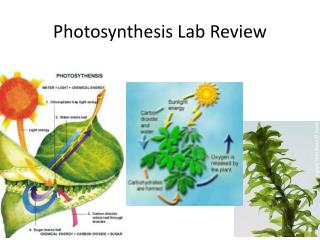 Photosynthesis Lab Review