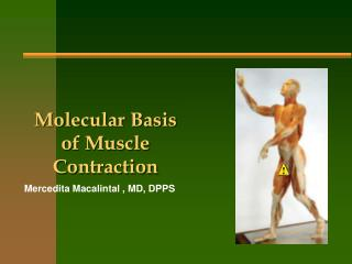 Molecular Basis of Muscle Contraction