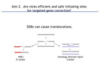 Aim 2.   Are nicks efficient and safe initiating sites  for targeted gene correction?