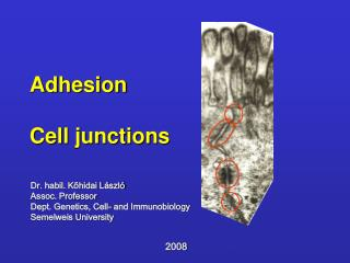 Adhesion   Cell junctions