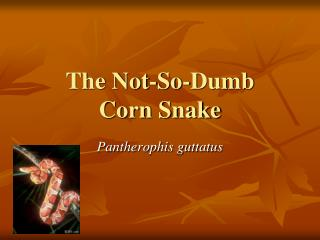 The Not-So-Dumb  Corn Snake