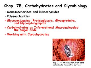 Chap. 7B. Carbohydrates and Glycobiology