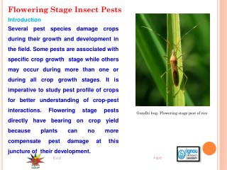 Flowering Stage Insect Pests