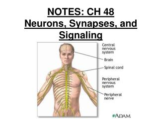 NOTES: CH 48 Neurons, Synapses, and Signaling