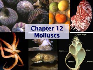 Chapter 12 Molluscs