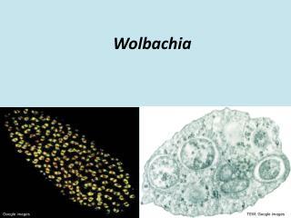 Wolbachia