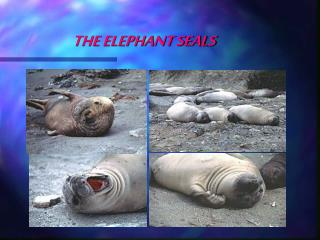 THE ELEPHANT SEALS