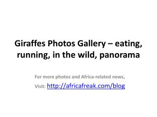 Photos of giraffes to download for free