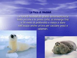 La Foca di Weddell