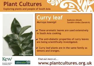 Curry leaf Murraya koenigii These aromatic leaves are used extensively in South Asia cooking.