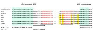 SCC-chromosome