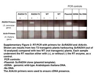 RAD54  Primers ( S. cerevisiae  gene)