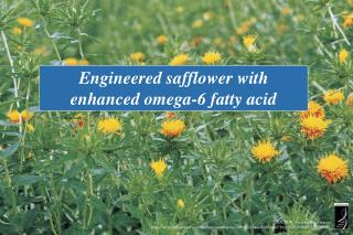 Engineered safflower with enhanced omega-6 fatty acid