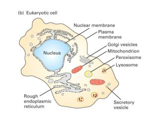 ~50% of the cell volume is in membrane bound organelles