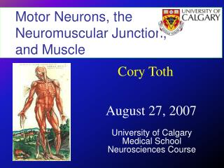 Motor Neurons, the Neuromuscular Junction,         and Muscle