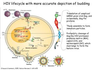 HIV lifecycle with more accurate depiction of budding