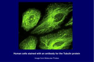 Human cells stained with an antibody for the Tubulin protein Image from Molecular Probes