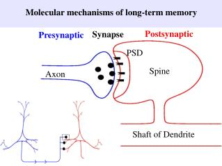 Molecular mechanisms of long-term memory
