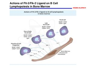 Actions of Flt-3/Flk-2 Ligand on B Cell Lymphopoiesis in Bone Marrow