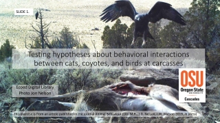 Testing hypotheses about behavioral interactions between cats , coyotes, and birds at carcasses