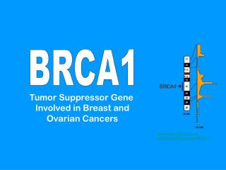 Tumor Suppressor Gene Involved in Breast and Ovarian Cancers