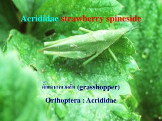 Acrididae strawberry spineside