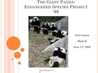 The Giant Panda:  Endangered Species Project '09
