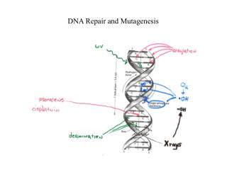 DNA Repair and Mutagenesis