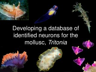 Developing a database of identified neurons for the mollusc,  Tritonia